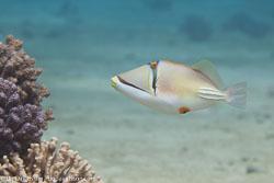 BD-150225-Tiran-6848-Rhinecanthus-assasi-(Forsskål.-1775)-[Picasso-triggerfish].jpg